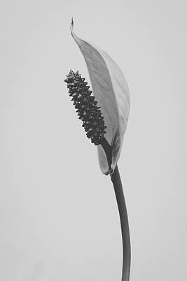 Photograph - Peace Lily #3  by Desmond Manny
