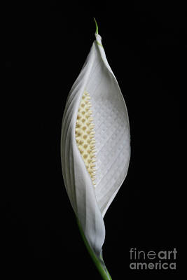 Photograph - Peace Lily #5 by Judy Whitton
