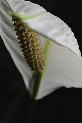Photograph - Peace Lily On Black by Nadalyn Larsen