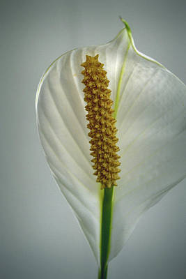 Photograph - Peace Lily On Gray by Nadalyn Larsen