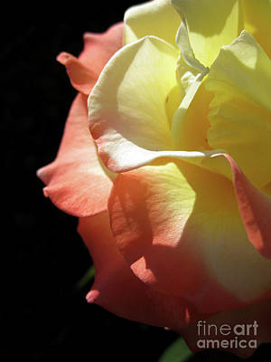 Photograph - Peace Rose 2 by Karen Sydney