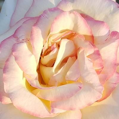 Photograph - Peace Rose 2015 by Amy Jo Garner