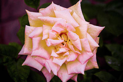 Photograph - Peace Rose by Donna G Smith