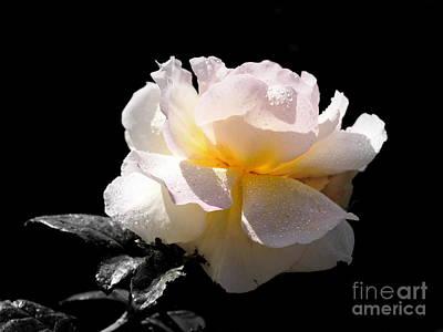 Peace Rose Inner Light Original