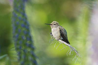 Photograph - Peaceful Hummingbird by Susan Gary