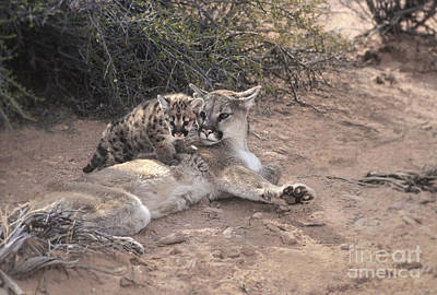 Puma Photograph - Peaceful Moments by Sandra Bronstein