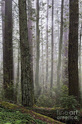 Photograph - Peaceful Morning In The Redwoods by Sandra Bronstein