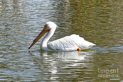 Photograph - Peaceful Pelican by Carol Groenen