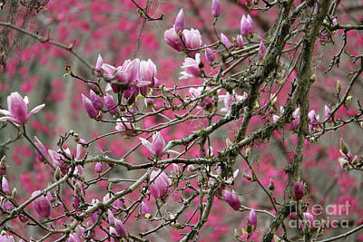 Photograph - Peaceful Pink Blossoms And Branches by Carol Groenen
