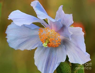 Photograph - Peaceful Poppy by Cindy Manero
