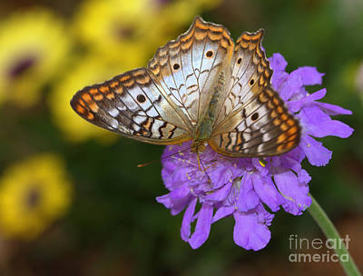 Photograph - Peaceful White Peacock Butterfly  by Ruth Jolly