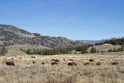 Photograph - Peacefully Grazing Bison by Shirley Mitchell