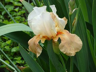 Photograph - Peach And White Iris by Anthony Seeker