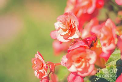 Photograph - Peach Begonias by Cheryl Baxter