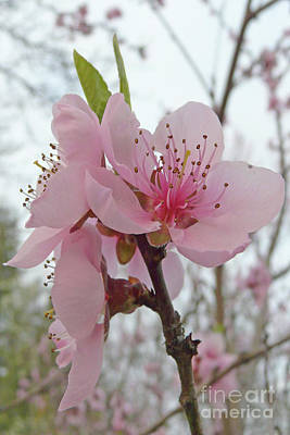 Photograph - Peach Blossom by Jasna Dragun