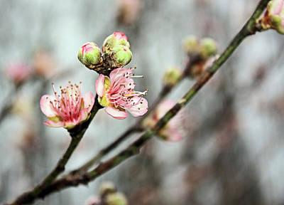 Photograph - Peach Blossom by Kristin Elmquist
