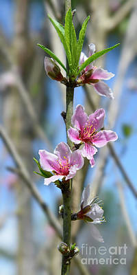 Photograph - Peach Blossom by Olga Hamilton