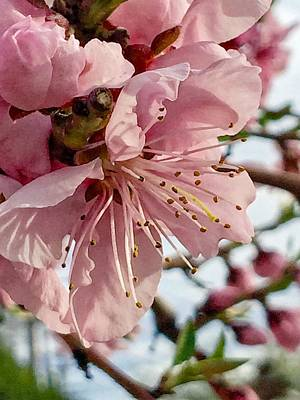 Photograph - Peach Blossom Spring by Renee Marie Martinez