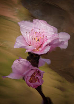 Photograph - Peach Blossom Through Glass by David Waldrop