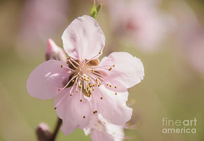 Photograph - Peach Blossoms 10 by Andrea Anderegg