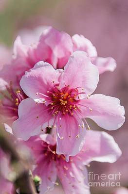 Photograph - Peach Blossoms 14 by Andrea Anderegg