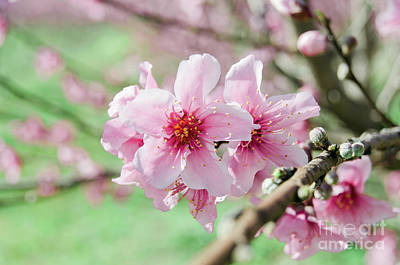 Photograph - Peach Blossoms 15 by Andrea Anderegg
