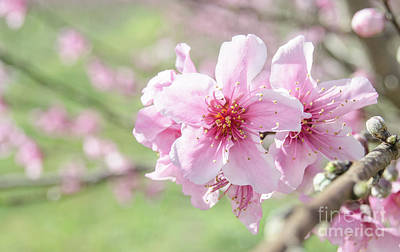 Photograph - Peach Blossoms 2 by Andrea Anderegg