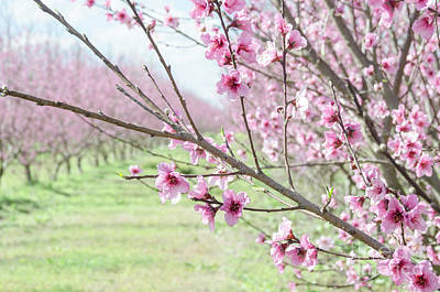Photograph - Peach Blossoms 3 by Andrea Anderegg