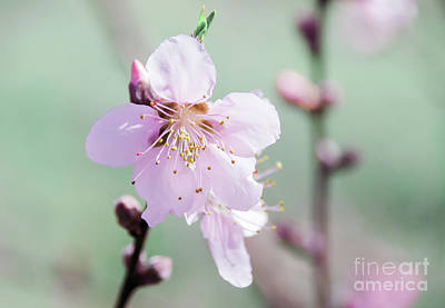 Photograph - Peach Blossoms 5 by Andrea Anderegg