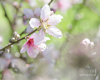 Photograph - Peach Blossoms 6 by Andrea Anderegg