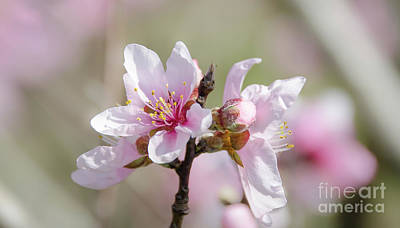 Photograph - Peach Blossoms 7 by Andrea Anderegg