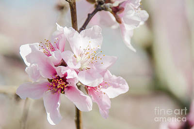 Photograph - Peach Blossoms 9 by Andrea Anderegg
