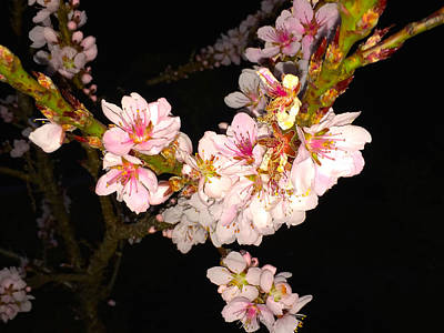 Photograph - Peach Blossoms At Night by Alan Lakin