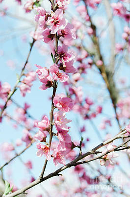 Photograph - Peach Blossoms by Andrea Anderegg