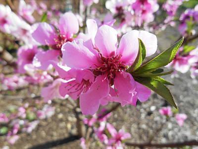 Photograph - Peach Blossoms by Irina Sztukowski