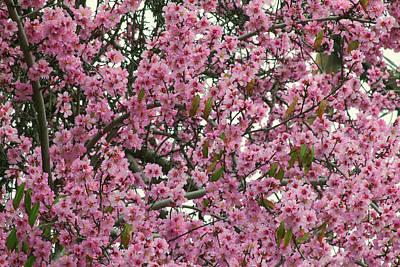 Photograph - Peach Blossoms by Ram Vasudev