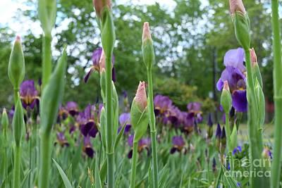Farmanimals Photograph - Peach Burgundy And Purple Iris by Barrie Stark