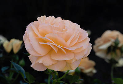 Photograph - Peach Colored Rose by Dennis Reagan
