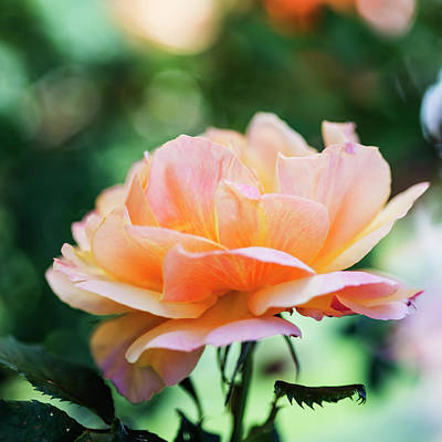 Photograph - Peach Colored Rose Wall Art by Vishwanath Bhat