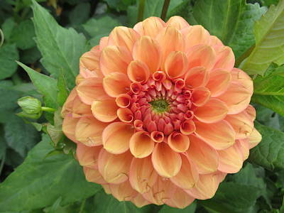 Photograph - Peach Dahlia by Lucinda VanVleck