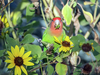 Photograph - Peach-faced Lovebird 092517-5898-1cr by Tam Ryan