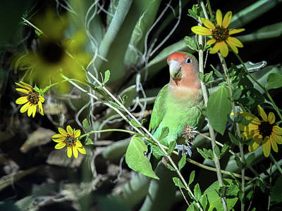 Photograph - Peach-faced Lovebird 7487-101017-3cr by Tam Ryan