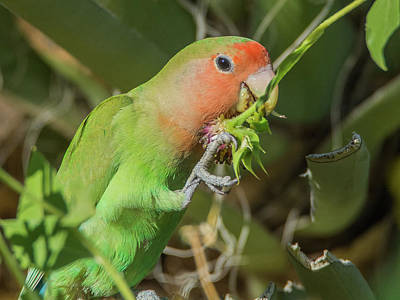 Photograph - Peach-faced Lovebird 7500-101017-1cr by Tam Ryan
