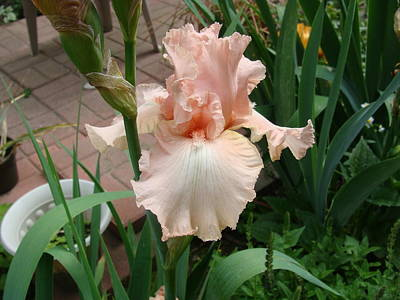 Photograph - Peach Iris by Anthony Seeker