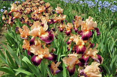 Photograph - Peach Iris by Diane Lent