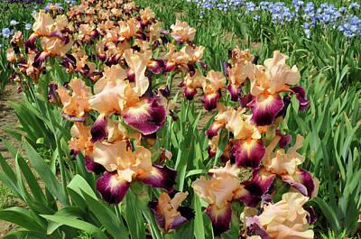 Photograph - Peach Iris by Diane Lent