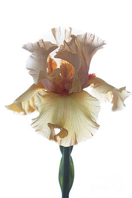 Photograph - Peach Iris by Elena Nosyreva