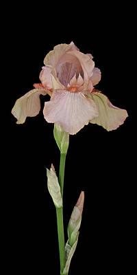 Peach Iris Art Print by Michael Peychich