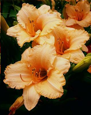 Photograph - Peach Lilies In The Morning Sun by Bruce Bley