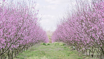 Photograph - Peach Orchard 3 by Andrea Anderegg